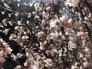 春,桜,お花見,桜色,ブロッサム