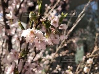 春,桜,お花見,桜色,Spring,春色