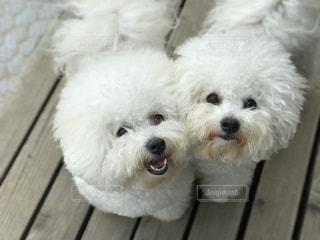 白犬姉妹!のん&きぃ★の写真・画像素材[933502]