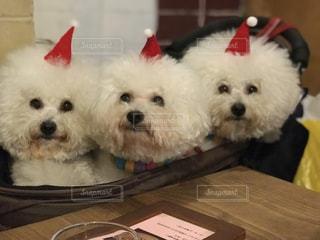 冬,動物,集合写真,白,ふわふわ,笑顔,クリスマス,暖かい,ポートレート,ビションフリーゼ,ふわもこ,iPhone7plus,ビション,多頭飼,モフ会