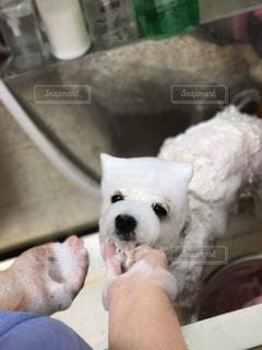 犬,動物,白,ふわふわ,笑顔,暖かい,泡,ポートレート,大好き,シャンプー,ビションフリーゼ,ふわもこ,洗顔,もこもこ,iPhone7plus,ビション,多頭飼