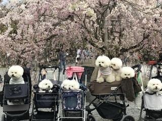 家族,春,桜,動物,京都,写真,嵐山,渡月橋,ポートレート,ふれあい,ビションフリーゼ,桂川,まん丸,4月,白犬,ビション