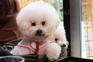 犬,屋内,大阪,白,ふわふわ,リラックス,癒し,笑顔,可愛い,iphone,幸せ,子犬,大阪城,記念日,思い出,ホワイト,お気に入り,4歳,ライフスタイル,にっこり,ドッグカフェ,もこもこ,バギー,白犬,iPhone7plus,ペット可,エアバギー,イベント・行事,ビション,ジョーテラス