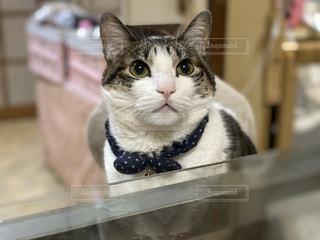 猫,動物,食卓,屋内,かわいい,椅子,ペット,子猫,人物,可愛い,ガラステーブル,男の子,ネコ,222,2月22日,にゃんにゃんにゃん