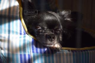 犬の写真・画像素材[495873]