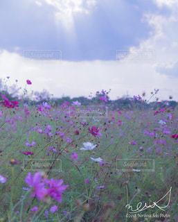 秋,秋桜,栃木県,陽射し,秋空,鬼怒グリーンパーク