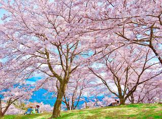 大法師公園の桜の写真・画像素材[1833347]