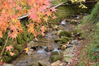 岩の上のピンクの花の木の写真・画像素材[933574]