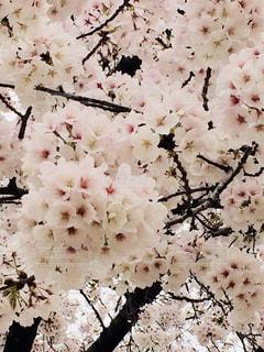 花,桜,大阪,ピンク,鮮やか,満開,堺市,薄ピンク