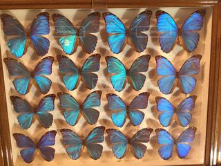 珍しい蝶の標本の写真・画像素材[934150]