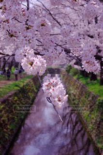 空,花,春,桜,屋外,ピンク,カラフル,神奈川県,千本桜,Sakura