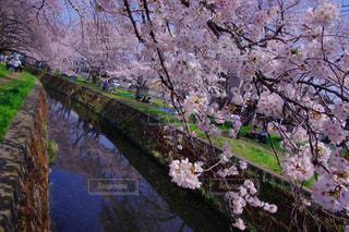 空,花,春,桜,屋外,ピンク,カラフル,水色,神奈川県,千本桜,Sakura
