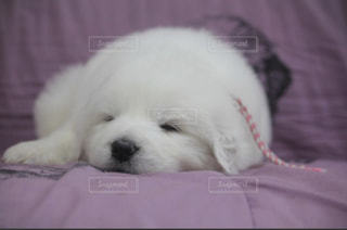 ベッドの上で横になっている白い犬の写真・画像素材[935090]