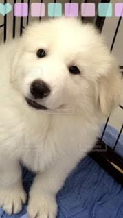 カメラを見て小さな白い犬の写真・画像素材[935091]
