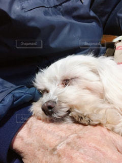 ベッドに横たわる茶色と白い犬の写真・画像素材[2445454]
