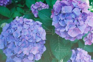 花,紫陽花,フィルム,梅雨