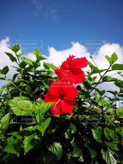 植物の赤い花の写真・画像素材[1405353]