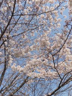 空,花,春,桜,屋外,青空,お花見,快晴,草木,桜の花,さくら,ブロッサム
