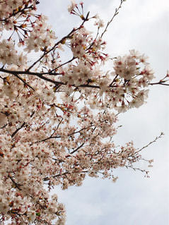花,春,木,お花見,桜の花,さくら,ブロッサム