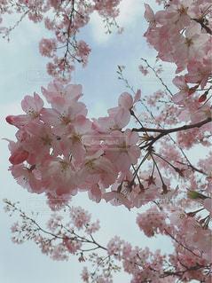 桜満開♡の写真・画像素材[3057741]