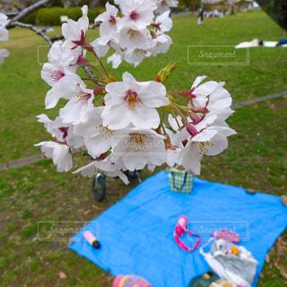 桜の下でピクニック♡の写真・画像素材[3067736]