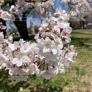 お花見日和♡の写真・画像素材[3078894]
