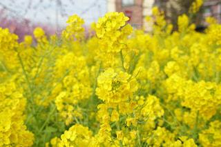 黄色,菜の花