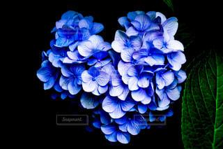 花,緑,青,紫,ハート,紫陽花,アジサイ