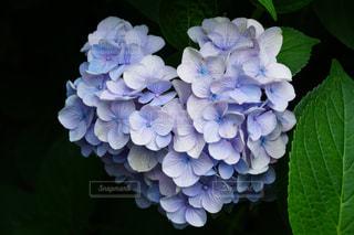 花,ハート,紫陽花,アジサイ