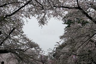自然,桜,白,雲,ハート