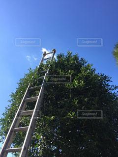 ゆずの木の剪定作業。青空がきれい!の写真・画像素材[1864137]