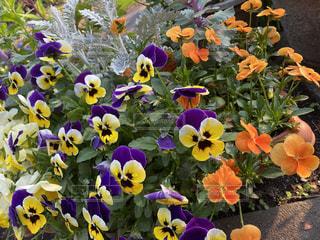 花壇の花の写真・画像素材[3146664]
