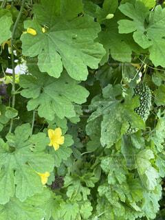 食べ物,屋外,緑,葉,景色,野菜,食品,グリーン,ゴーヤ,食材,フレッシュ,ベジタブル,ガーデン