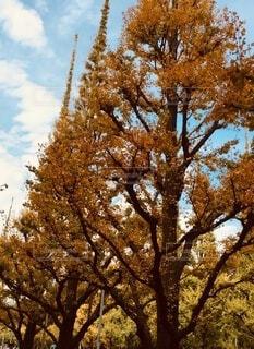 イチョウ並木の写真・画像素材[3717403]