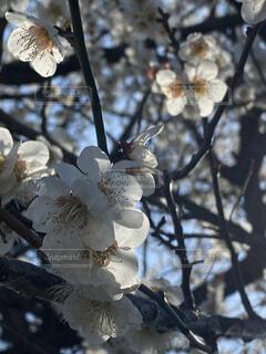 梅の花の写真・画像素材[4353427]