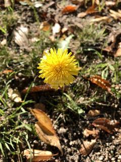 公園,花,春,黄色,鮮やか,たんぽぽ,イエロー,黄,yellow