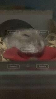 動物,ハムスター,屋内,かわいい,可愛い,おやすみ,動画