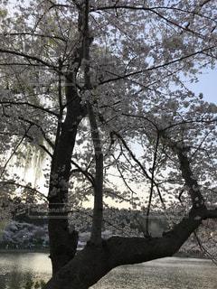 桜  さくら  花見  花