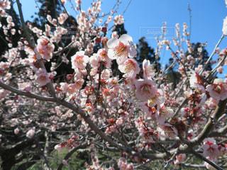 2月の山の上の梅の写真・画像素材[1122528]