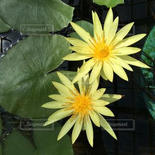 黄色のスイレンの写真・画像素材[1079712]