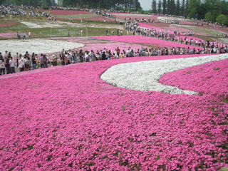 花畑,ピンク,芝桜,羊山公園,日本の花風景