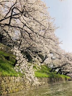 桜,千鳥ヶ淵,ボート乗り場