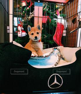 犬,動物,クリスマス,柴犬,子犬,クリスマスツリー,豆柴