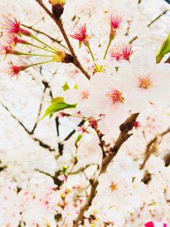 花,桜,かわいい,川,桜並木,オシャレ,目黒川