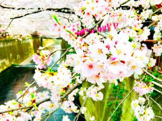 桜,緑,川,桜並木,花びら,目黒川