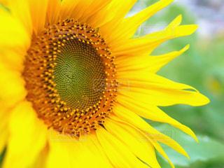 花,夏,植物,ひまわり,暑い,黄色,向日葵,ヒマワリ