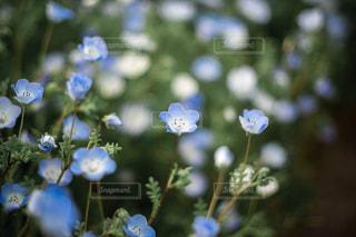 花,花畑,フラワー,ネモフィラ