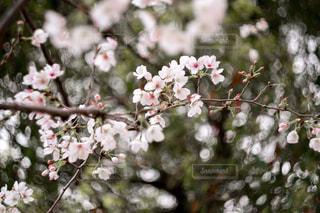 花,春,桜,サクラ,さくら