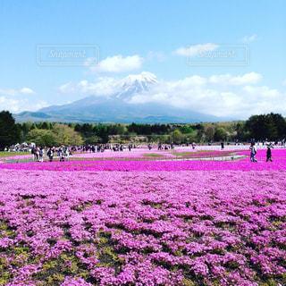富士山と芝桜の最強コラボの写真・画像素材[1053689]