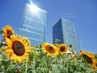 黄色の花の写真・画像素材[981285]